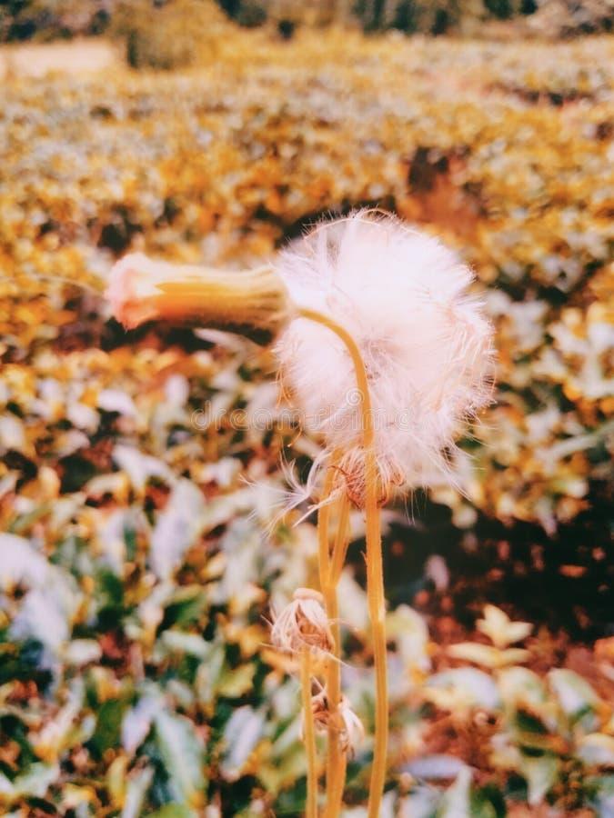 Pięknego białego kwiatu tła tapetowy wizerunek India zdjęcie stock