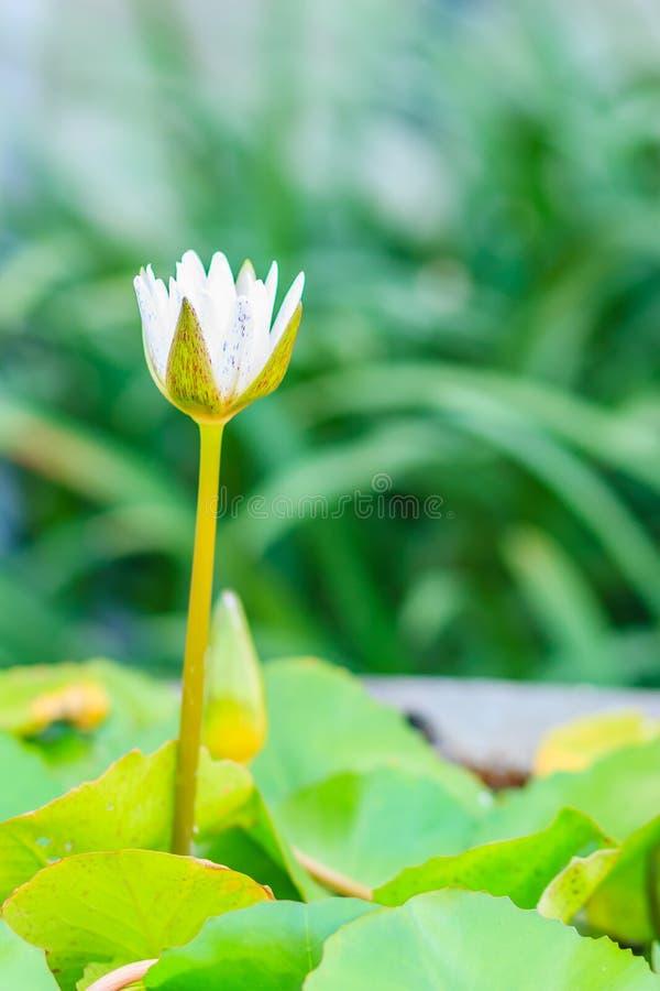 Pięknego białego okulizowania lotosowy kwiat na zieleni opuszcza tło fotografia royalty free