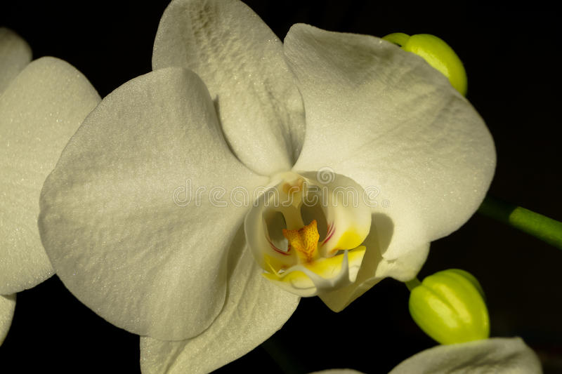 Pięknego białego Storczykowego kwiatu makro- fotografia fotografia stock