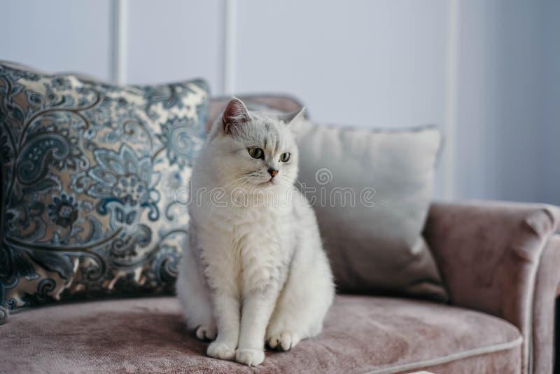 Pięknego bielu popielaty kot na cauch w klasycznym francuza domu wystroju n fotografia royalty free