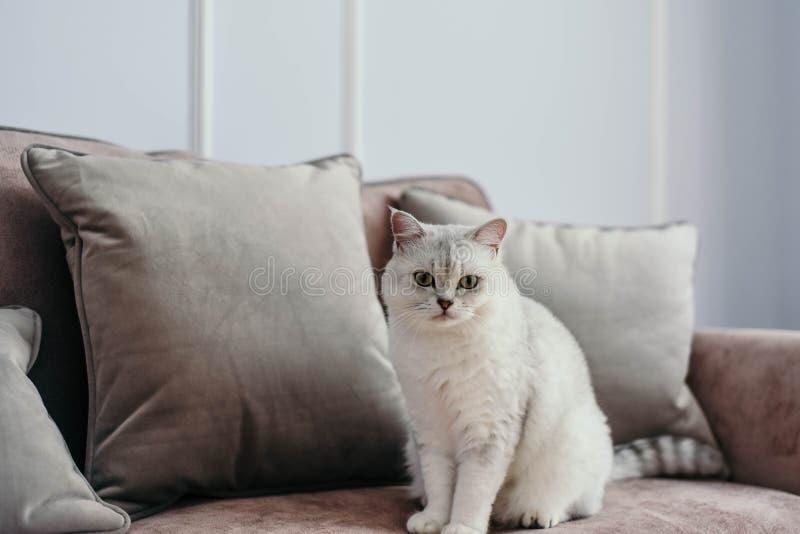 Pięknego bielu popielaty kot na cauch w klasycznym francuza domu wystroju n zdjęcie royalty free
