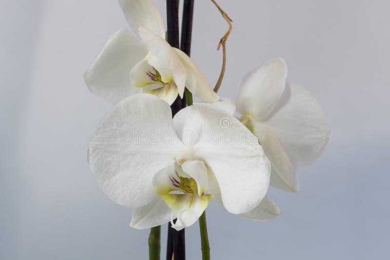 Pięknego bloosom biały storczykowy makro- obrazek obraz stock
