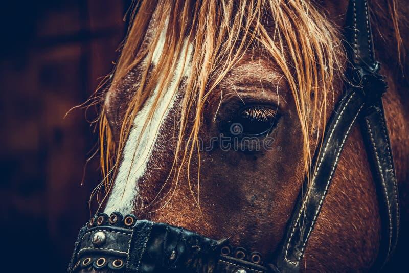 Pięknego brązu koński portret na gospodarstwie rolnym zdjęcia royalty free