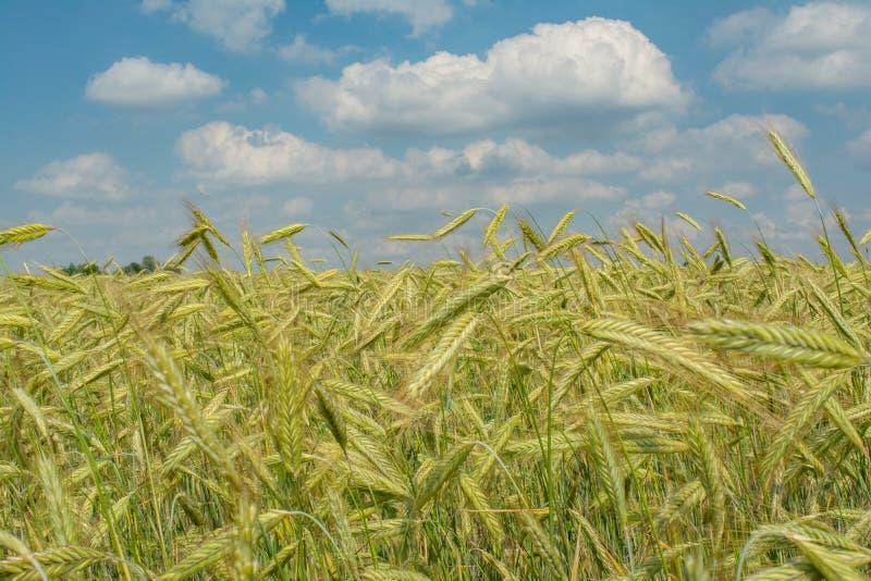 Pięknego colourful rolnictwa pszeniczny pole pod błękitnym chmurnym niebem podczas lato sezonu zdjęcia royalty free