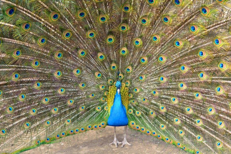 Pięknego Indiańskiego peafowl lub błękitnego peafowl Pavo cristatus ampuła i jaskrawy coloured ptak, obrazy royalty free
