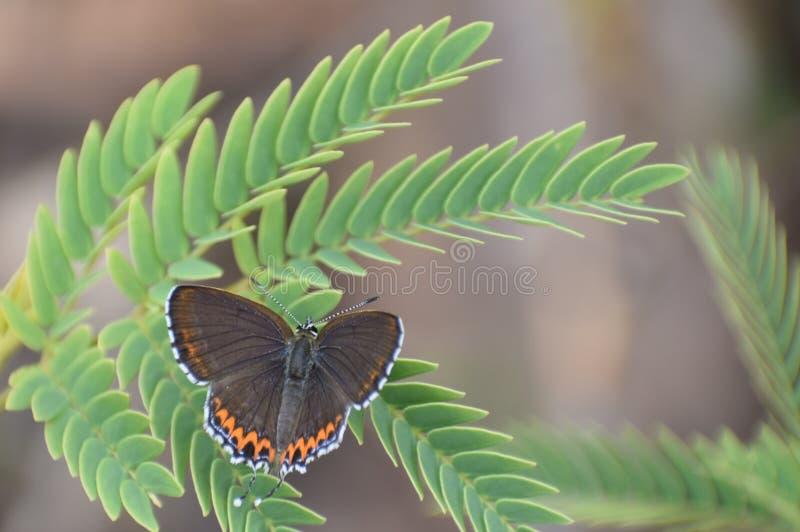 Pięknego kobylaka Heliophorus Sena szafirowy motyl fotografia stock