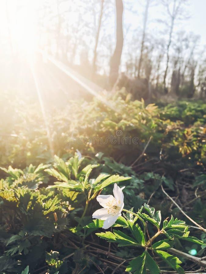 Pięknego kwitnącego anemonu pierwszy wiosna kwitnie w zmierzchu świetle obrazy royalty free