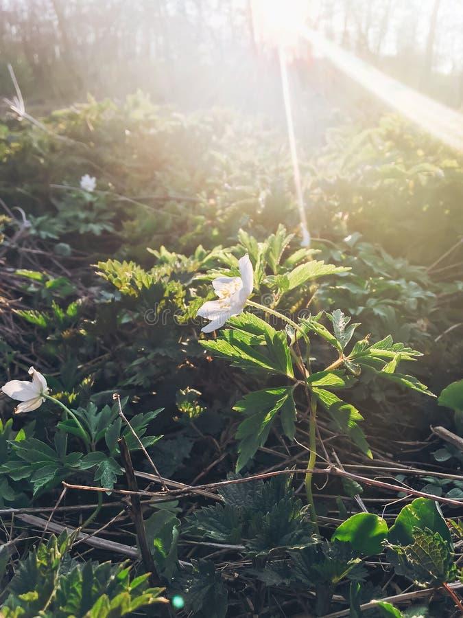 Pięknego kwitnącego anemonu pierwszy wiosna kwitnie w zmierzchu świetle zdjęcia royalty free