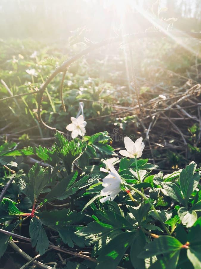 Pięknego kwitnącego anemonu pierwszy wiosna kwitnie w zmierzchu świetle fotografia stock