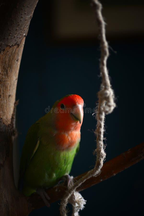 Pięknego lovebird papuzi miejsca siedzące na gałęziastym i pozować zdjęcie royalty free