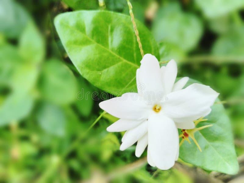 Pięknego ogrodowego bielu kwiatu jaśminowego tła tapetowy obrazek obrazy royalty free