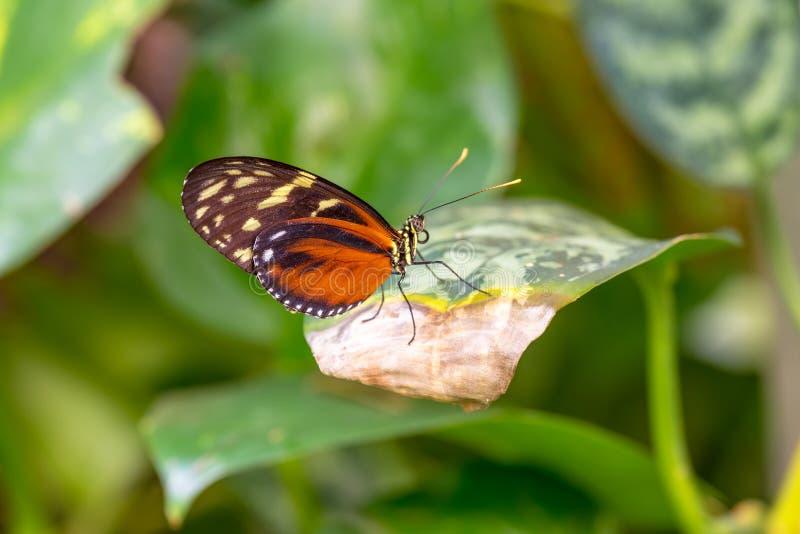 Pięknego pomarańczowego terricina motyli obsiadanie na fryzowanie liściu, fotografia royalty free