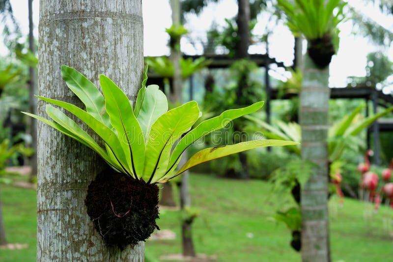Pięknego ptaka gniazdowa paproć, kwiatu garnek na drzewie fotografia stock