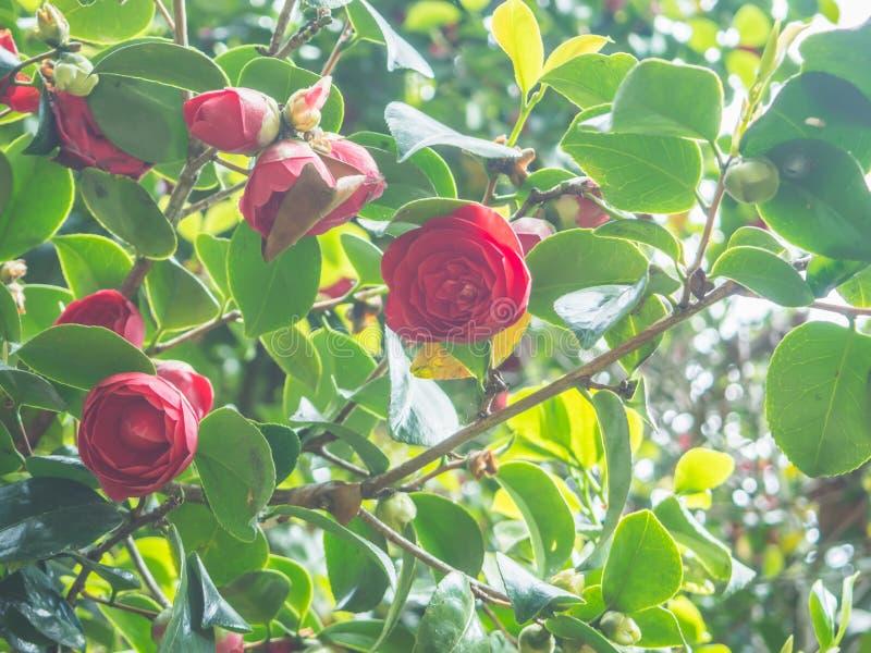 Pięknego różowego kameliowego japonica japońska kamelia kwitnie w ogródzie przeciw skupiającemu się tłu obraz stock