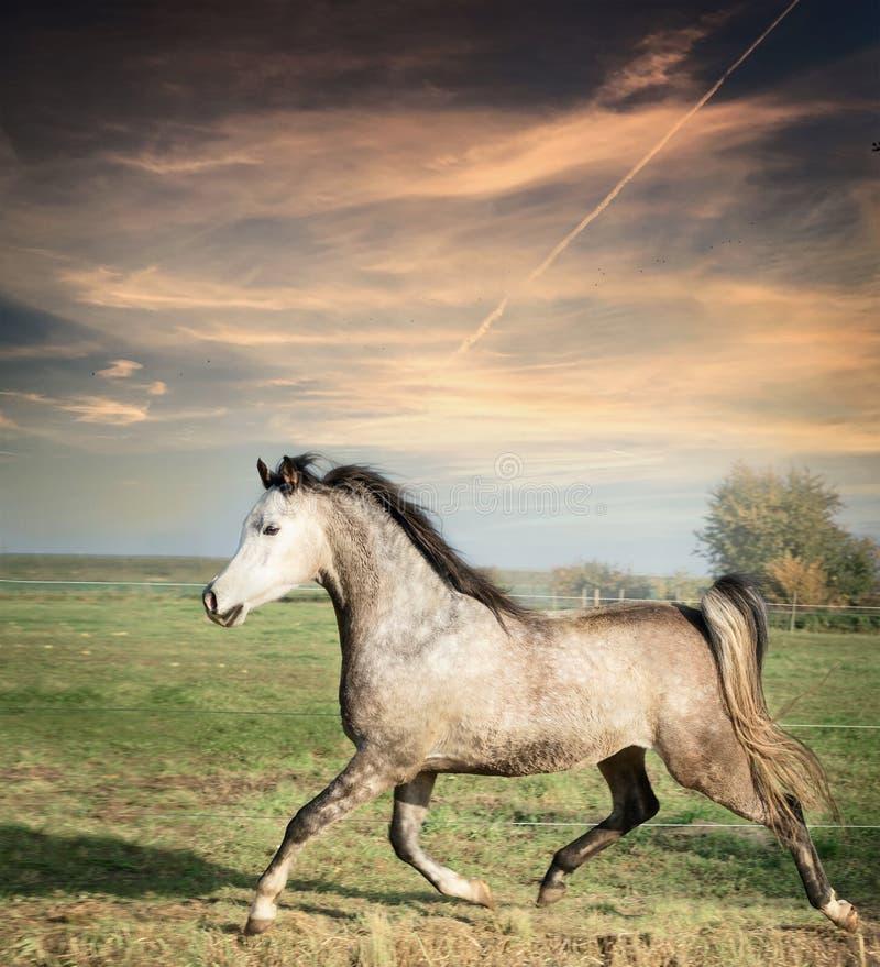 Pięknego szarego ogiera paśnika koński działający na wolności nadmierny tło obraz stock