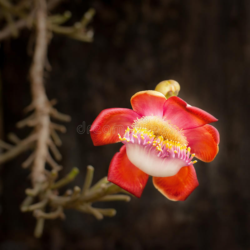 Pięknego tropikalnego tCannon kwiatu balowy drzewny dorośnięcie w lesie tropikalnym zdjęcia stock