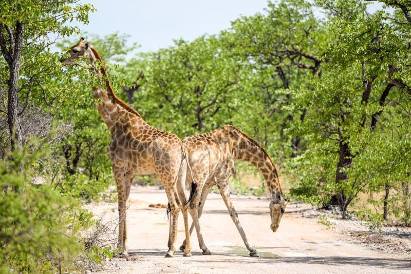 Pięknego widoku dwa żyrafy trwanie z powrotem popierać na żwir drodze w Etosha parku narodowym obrazy royalty free
