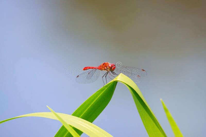 Pięknego zbliżenia czerwony dragonfly na trawie obrazy royalty free