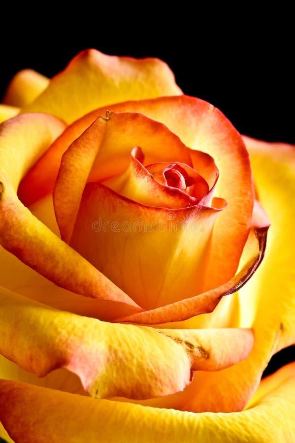 pięknej czerwieni różany yelow zdjęcia royalty free