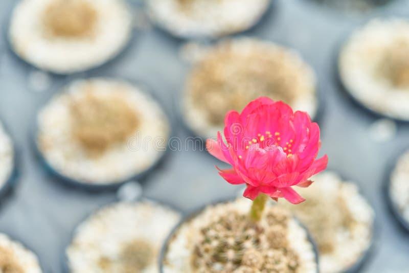 Pięknej kwitnienie pustyni kaktusowy kwiat w garnku przy ogródem, Selekcyjna ostrość kwitnie kaktusa w naturalnym czerwony kwiat zdjęcie royalty free