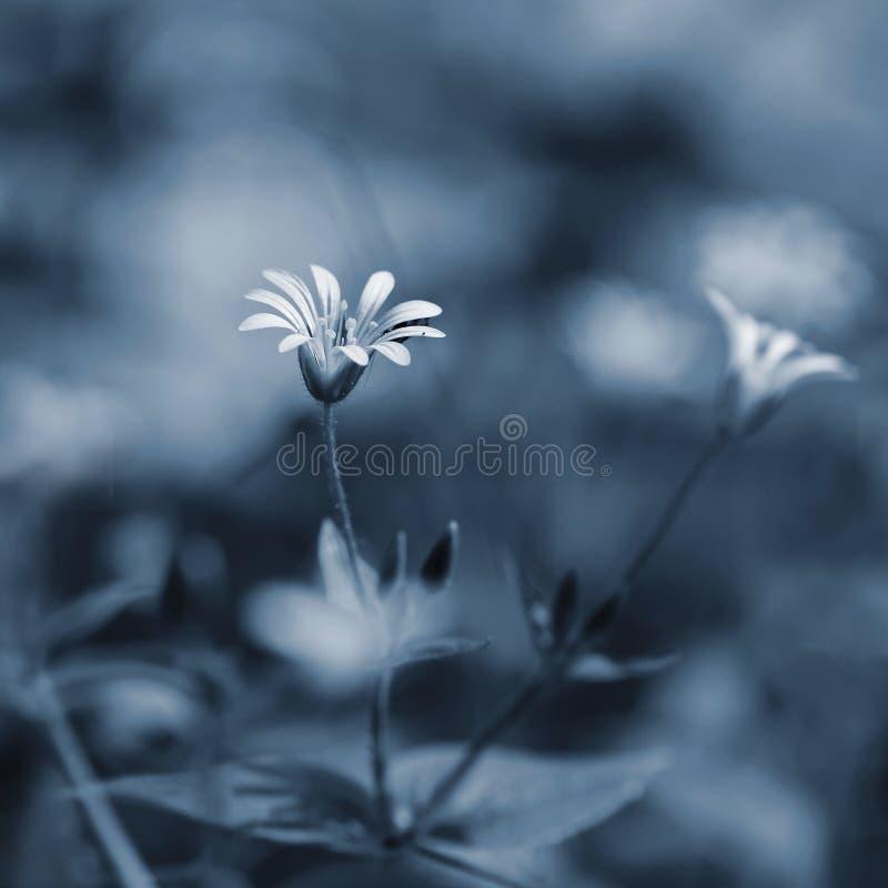 Pięknej małej wiosny biały kwiat Naturalny barwiony zamazany tło z forestStellaria nemorum zdjęcie royalty free