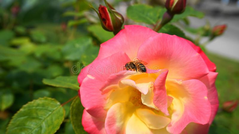 Pięknej miodowej pszczoły ekstrahujący nektar od róża kwiatu z pączkami na zielonym liścia tle w ranku słońcu zamkniętym w górę zdjęcia royalty free
