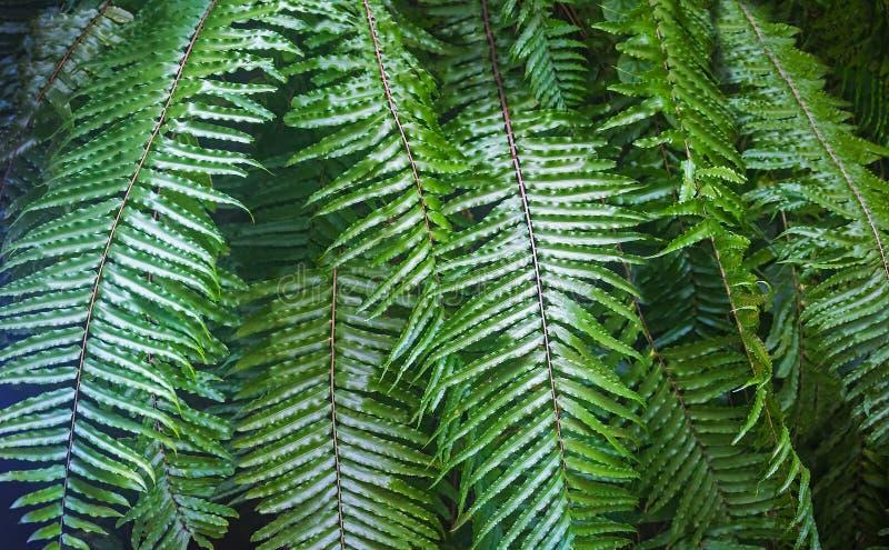 Pięknej naturalnej paproci pusty wzór Doskonalić tło z potomstwami zielenieje tropikalnych liście paproć Ulistnienie roślina kosm obraz stock