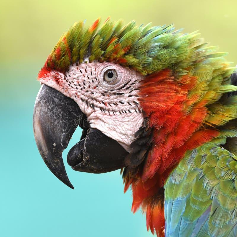 Pięknej ptak zieleni oskrzydlona ara obraz royalty free