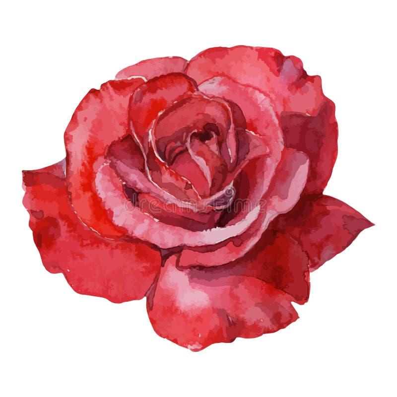 Pięknej różanej akwareli ręcznie malowany odosobniony na białym tle ilustracja wektor
