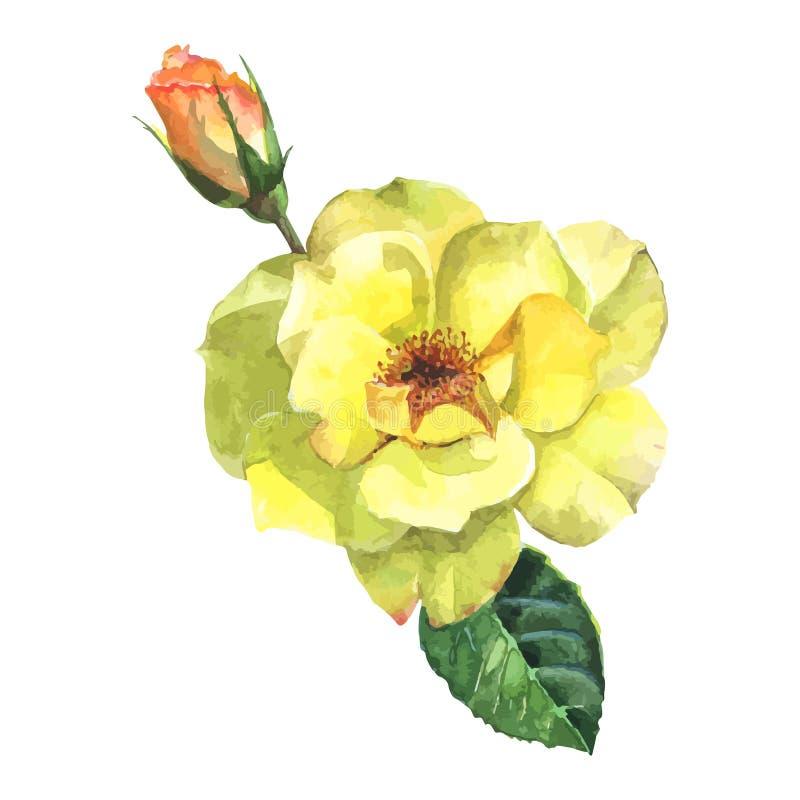 Pięknej różanej akwareli ręcznie malowany odosobniony na białym tle royalty ilustracja