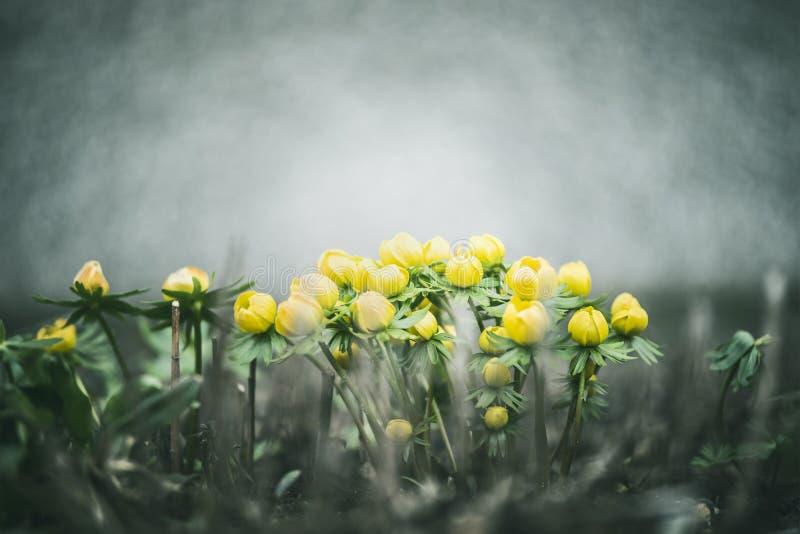 Pięknej wiosny żółci jaskiery las na naturalnym tle lub, przestrzeń dla teksta fotografia stock