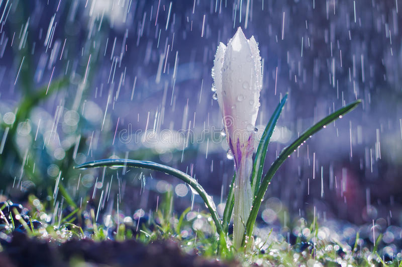 Pięknej wiosny biały krokus w wiosna deszczu obraz royalty free