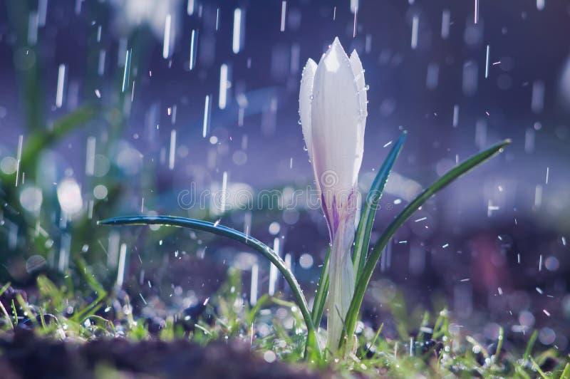 Pięknej wiosny biały krokus w wiosna deszczu obraz stock