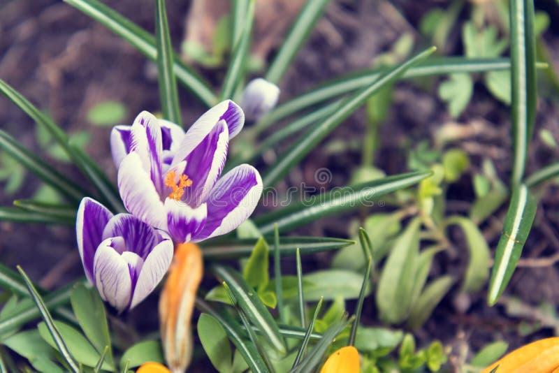 Pięknej wiosny fiołkowy biały i kolor żółty kwitniemy krokusy na boku zdjęcia stock
