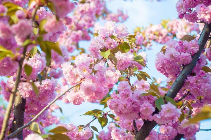 Pięknej wiosny Sakura czereśniowy okwitnięcie z fadingiem wewnątrz pastelowych menchii tło fotografia royalty free