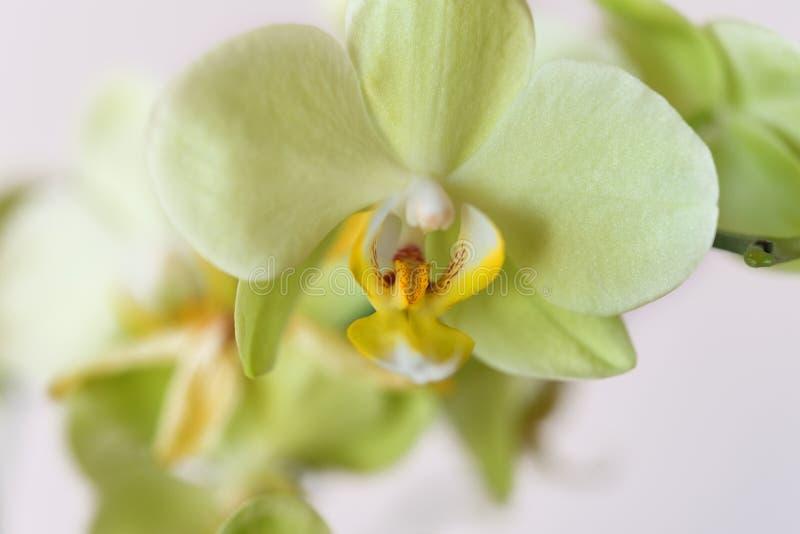 Pięknej zieleni kwiatu Cattleya storczykowe orchidee, Cattleya labiata ot bielu tło du?y kropli zieleni li?? makro- fotografii wo zdjęcie stock