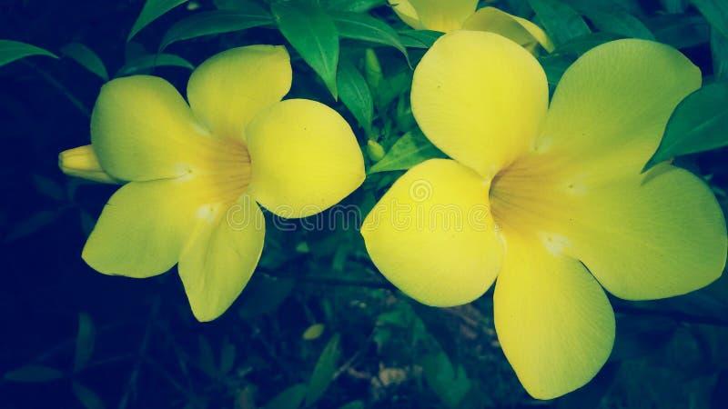 PIĘKNI ŻÓŁCI poślubników kwiaty obrazy royalty free