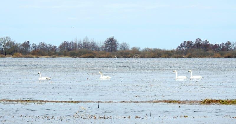 Piękni łabędź unosi się na wodzie w powodzi polu, Lithuania obrazy stock