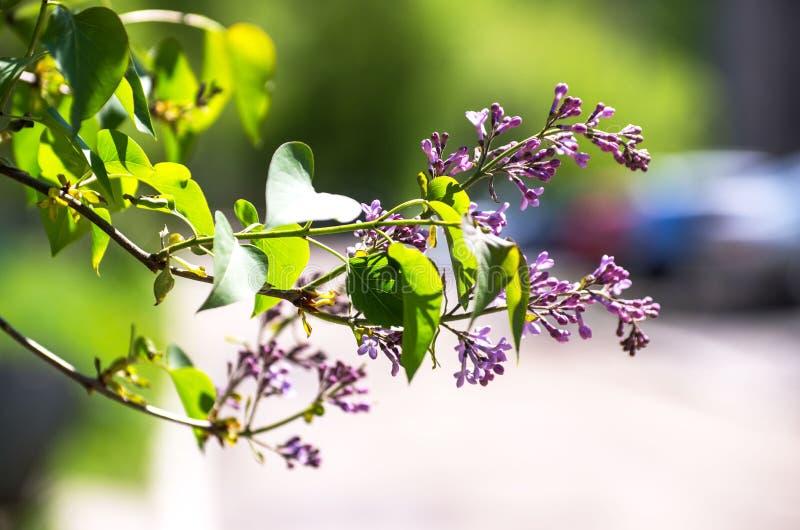 Piękni świezi purpurowi fiołków kwiaty Zamyka up purpurowi kwiaty Wiosna kwiat, gałąź bez obrazy stock