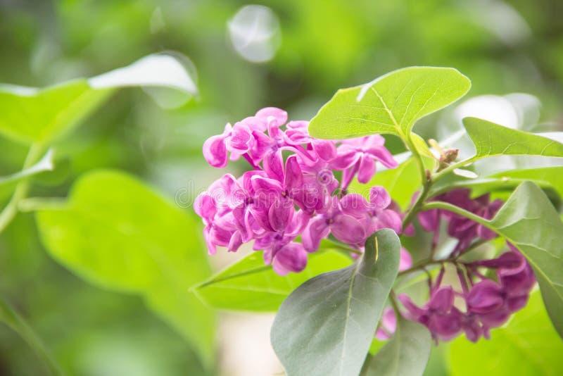 Piękni świezi purpurowi fiołków kwiaty Zamyka up purpurowi kwiaty Wiosna kwiat, gałąź bez zdjęcia stock