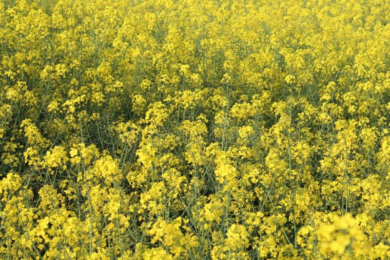 Piękni żółci kwiaty wielki kolor i wielki aromat obraz stock