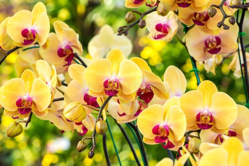 Piękni żółci orchidea kwiaty obraz stock