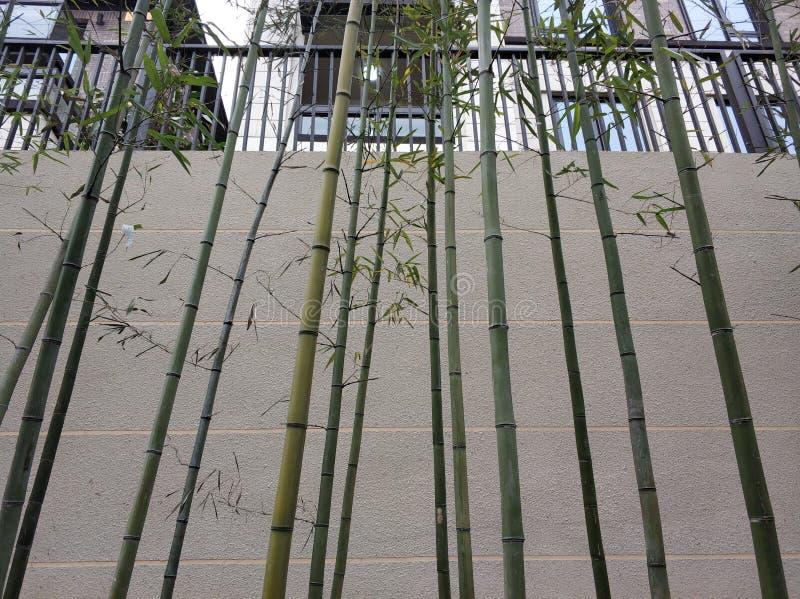 Piękni bambusowi tło zimy dni fotografia royalty free