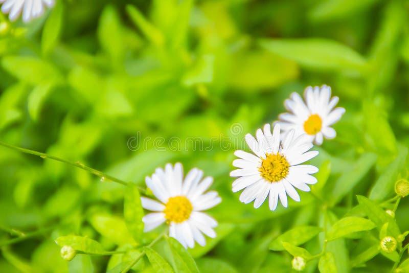Piękni białej stokrotki kwiaty kwitnie na zieleni opuszczają tło obraz stock
