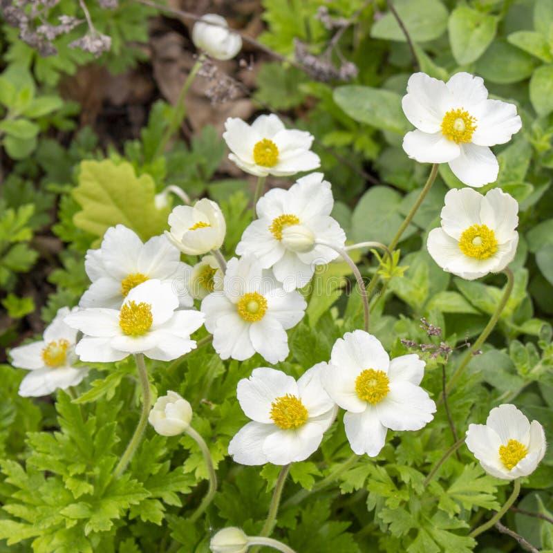 Pi?kni bia?ych kwiat?w jaskier?w anemony, pierwiosnek ?nie?yczki Dzikich kwiat?w Sylvestris Anemonowy Ranunculaceae obrazy stock