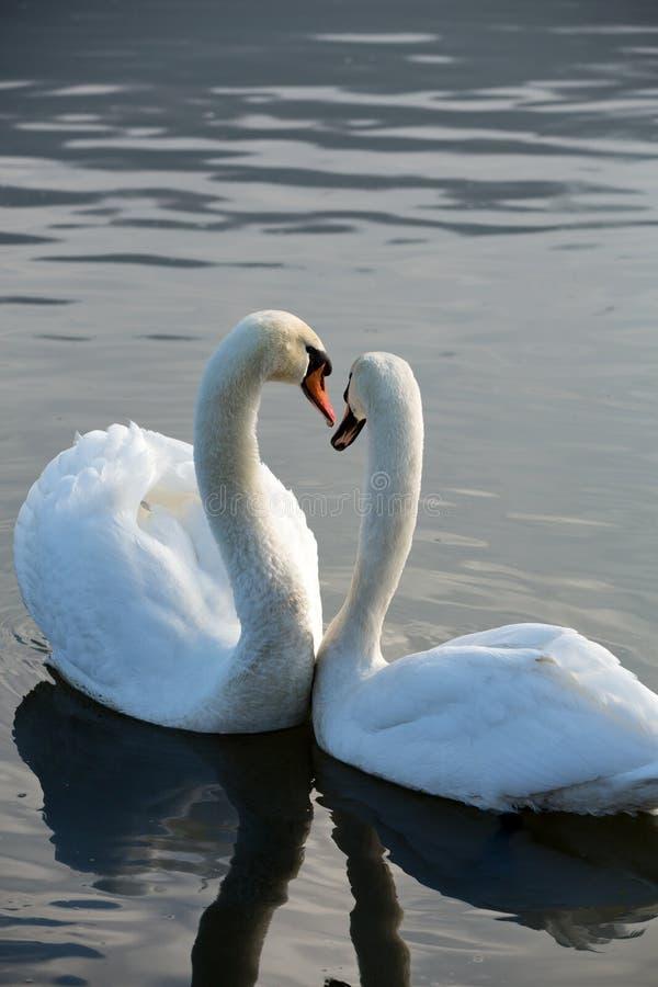 Piękni biali łabędź zdjęcie stock