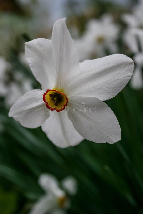 Piękni biali żółci daffodils zdjęcia royalty free