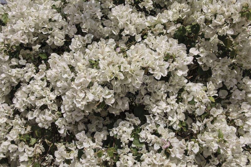Piękni biali bougainvillea kwiaty zdjęcia stock