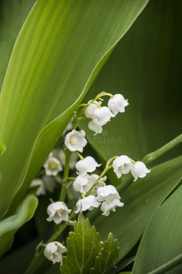 Piękni biali dzwony, cali kwiaty leluja dolina, zieleni wielcy liście leluja dolina krzaki obraz stock
