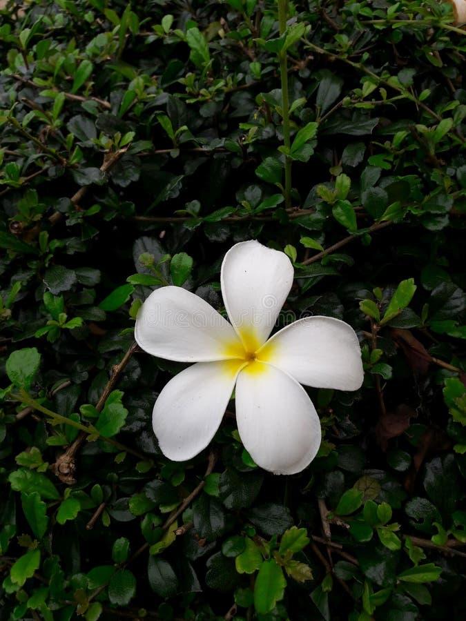 Piękni biali frangipani kwiaty i zieleń liście obrazy royalty free